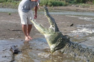 Crocodile being fed. They like chicken.