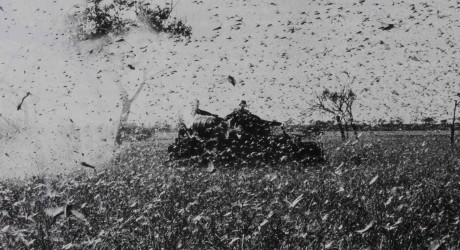 Locusts covering a tank in Australia, 1974